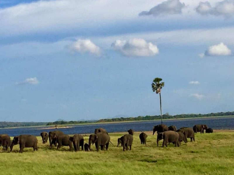 Gems Sri Lanka Tour Day 8 Yala - elephants